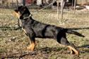 Pureblack Rottweiler - crestem ca sa protejam